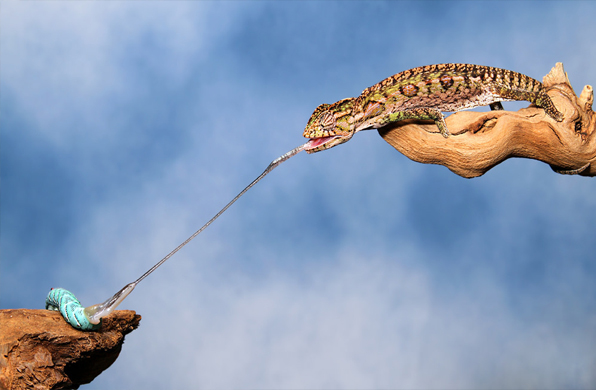 a long chameleon tongue catching a caterpillar